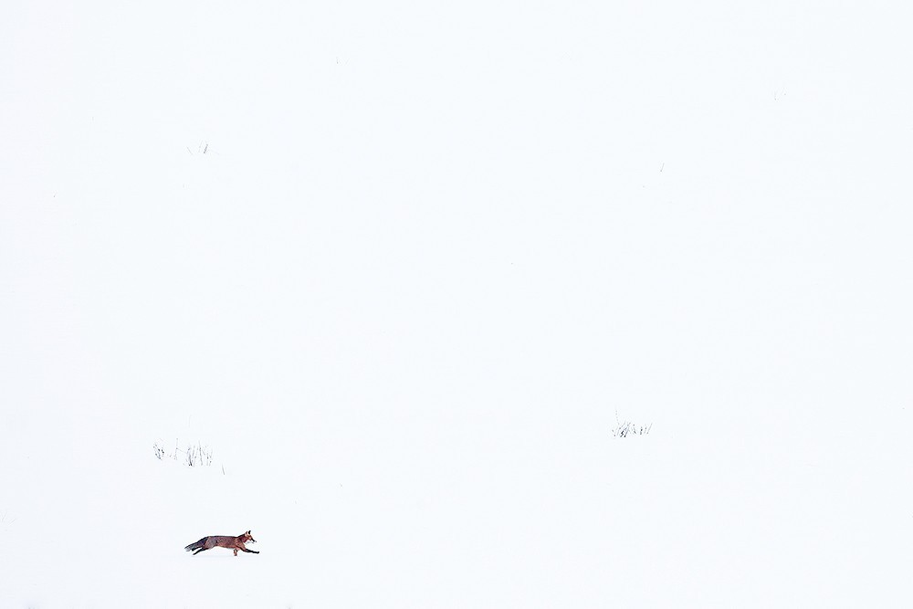 Fox in the snow I - Michel d'Oultremont - KAZoART