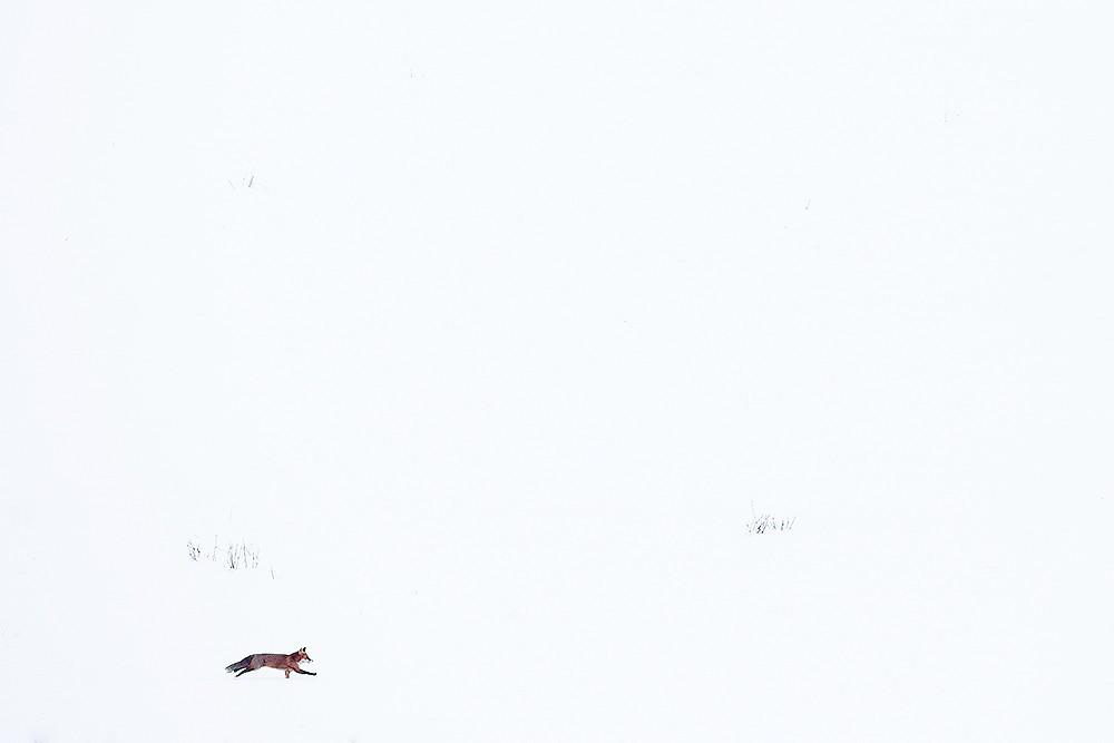 Fox in the snow I - Michel d'Oultremont - KAZoART