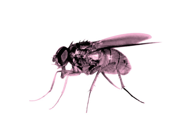 Pink Fly - 6ro